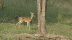 African baby antelope Stock Footage