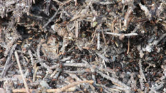 Ants repairing damaged ant-hill Stock Footage