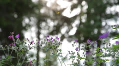 Cranesbill blooming in a forest Stock Footage