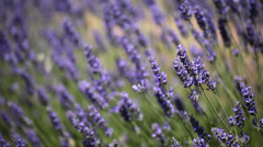 Provence, typical lavender landscape. Lavender field. France Stock Footage