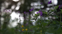 Cranesbill flowering on forest glade Stock Footage