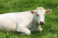 Stock Photo of white cow on green grass