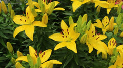 Yellow tiger lily Stock Footage