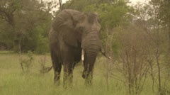 Elephant eating grass Stock Footage