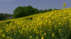 Beautiful Canola Field - Mecklenburg, Northern Germany Stock Footage