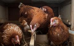 Chicken coop hens Stock Photos