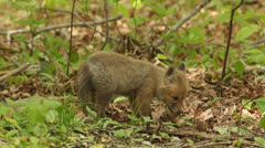 Red Fox Kit (vulpes) Stock Footage