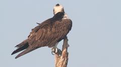 Osprey (pandion haliaetus) - stock footage