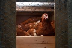 Chickens in the coop Stock Photos