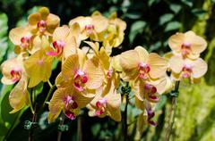 bright yellow orchids flower in botanical garden - stock photo