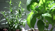 Stock Video Footage of Basil & Rosemary Herbs
