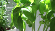 Stock Video Footage of Basil Herb