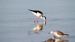 Black-necked Stilt (Himantopus mexicanus) Stock Footage