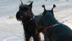 Two miniature schnauzers Stock Footage