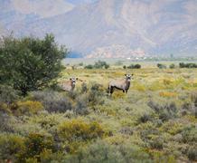 Gemsbok antelopes at south african bush Stock Photos