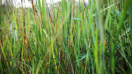Stock Video Footage of Swaying grass