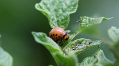 Potato beetle Stock Footage