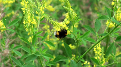 Bumblebee collects nectar on a flower Stock Footage