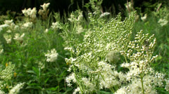Meadowsweet ( Meadow flowers ). Stock Footage