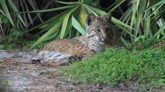WILD Bobcat (Lynx rufus) Stock Footage
