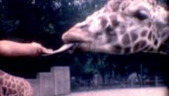 1950s old zoo young kids Feeding Giraffe travel destination outdoors vintage Stock Footage
