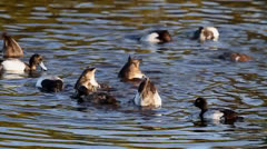 Lesser Scaup (Aythya affinis) swimming and feeding Stock Footage