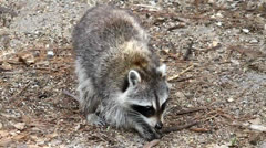 Raccoon (Procyon lotor) Stock Footage