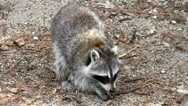Stock Video Footage of Raccoon (Procyon lotor)