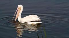 American White Pelicans (Pelecanus erythrorhynchos) - stock footage