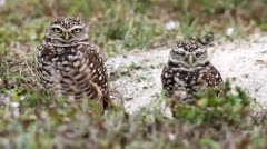 Burrowing Owl (athene cunicularia) by a nest hole Stock Footage