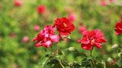 Red Rose on the Branch in the Garden - stock footage