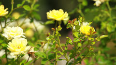 Stock Video Footage of Yellow Rose on the Branch in the Garden