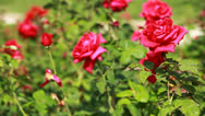 Stock Video Footage of Red Rose on the Branch in the Garden