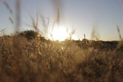 Wild Grass Field - Sunset 5 - stock photo