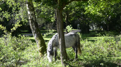 Beautiful New Forest ponies grazing on bright Summer day Stock Footage