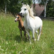 Mare with foal on pasturage Stock Photos