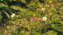 Wild strawberry white flowers and berries Stock Footage