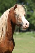 portrait of welsh mountain pony stallion on pasturage - stock photo