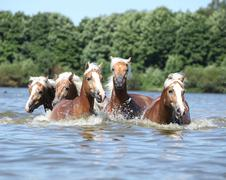 batch of chestnut horses swimming in water - stock photo
