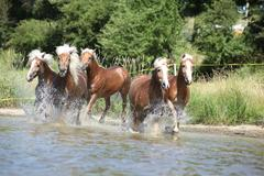 batch of chestnut horses in water - stock photo