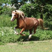 chestnut welsh mountain pony stallion running - stock photo