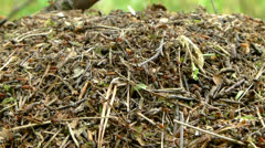 Anthill and ants (Formica rufa) 2 Stock Footage