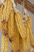drying corn - stock photo