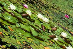 Water surface covered with blooming water lilies Stock Photos