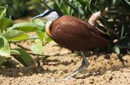 Stock Photo of african jacana (actophilornis africanus)