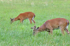 Two deers feeding in a grassy meadow Stock Footage