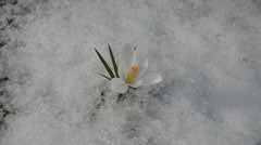Saffron crocus white bloom closeup first spring flowers snow Stock Footage