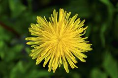 Stock Photo of close up of a dandelion flower