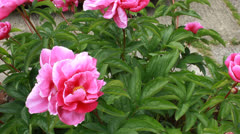 Peonies in English garden 2 Stock Footage