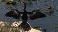 Water Turkey - Anhinga at Alligator Alley, Florida Stock Footage